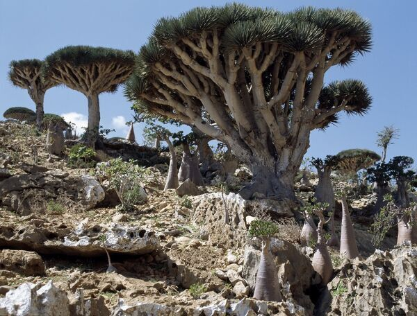 Endemic Dragon's Blood Trees (Dracaene cannabari) grow among Socotran Desert Roses (Adenium obesum sokotranum) in the Homhil Mountains. The closest relative of the Dragon's Blood Tree is found the other side of the African continent in the Ca