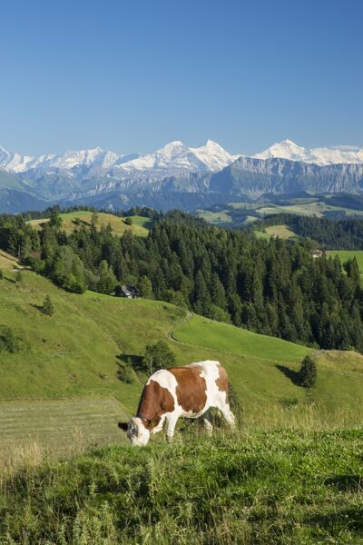 Grazing cows, Emmental Valley and Swiss alps in the background, Berner Oberland, Switzerland