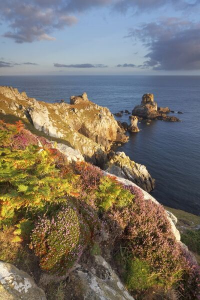 Pointe du Van, Brittany, France. Heather flowering illuminated by first sun rays