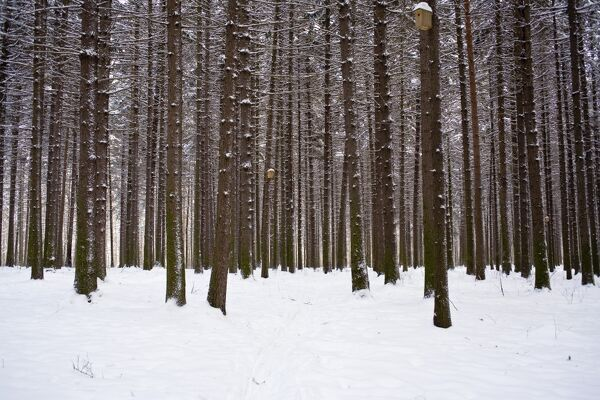 Winter forest in snow, Moscow, Russia Winter day, Moscow, Russia
