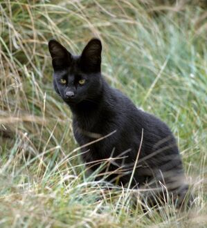 An all-black melanistic serval cat at 10