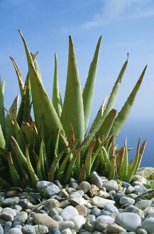 Aloe vera plant planted in pebbles