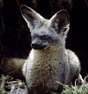 A bat-eared fox at the entrance to its burrow