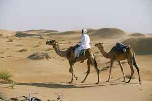 A Bedu rides his camel amongst the sand dunes in the desert