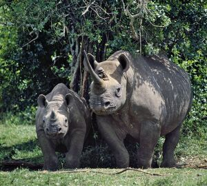 A black rhino and calf in the Aberdare Natrional Park.