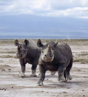 Two black rhinos on the open plains at Amboseli