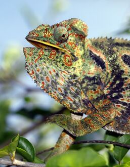 A brightly coloured chameleon