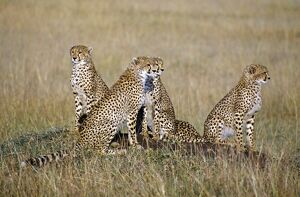 A cheetah family on the grassy plains of Masai Mara National Reserve
