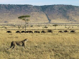 A cheetah ignores a line of wildebeest and zebra in