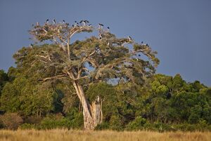 As dusk approaches, Marabou storks roost in large wild fig tree near the Mara River