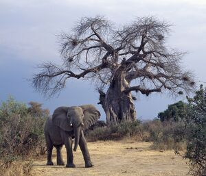 An elephant in the Ruaha National Park of Southern Tanzania.