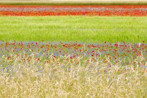 Europe,Italy,Umbria,Perugia district, flowering of Castelluccio of Norcia