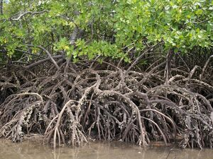 The exposed barnacle-encrusted roots of mangrove trees