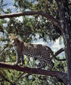 A fine leopard in the cedar forests near Maralal.