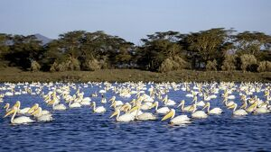 A 'flotilla' of Great White Pelicans