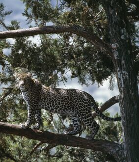 A forest leopard stands alert on the branch of a cedar tree