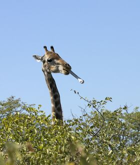 A Giraffe with a bone in its mouth on the edge of the Etosha Pan
