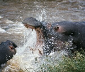 Two hippos fight in the Mara RiverThese vast animals