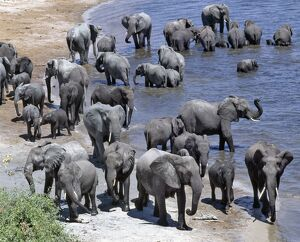 A large herd of elephants drink at the Chobe River