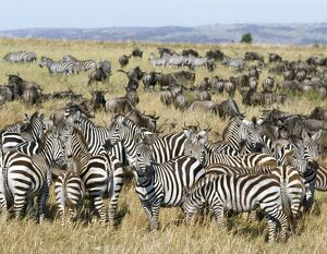 Large herds of wildebeest intermingle with Burchell's