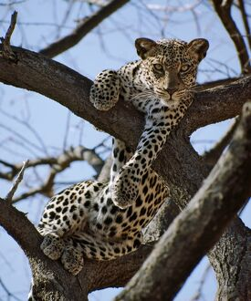 A leopard gazes intently from a comfortable perch in a tree in Samburu National Reserve