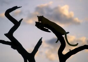 A leopard rests on the branch of a dead tree at sunset