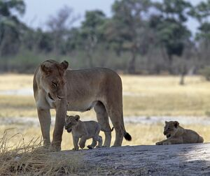 A lioness and her two cubs play on a shaded mound in