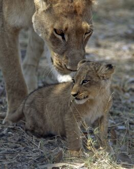 A lioness keeps a careful eye on her cub in the Moremi