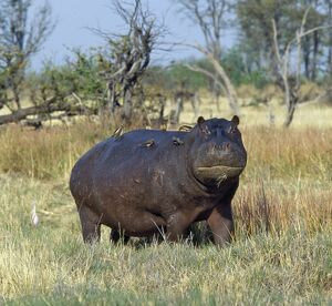 A lone hippo with attendant red-billed oxpeckers