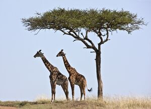 Two Maasai giraffes shade themselves beneath a Balanites tree on the plains of the