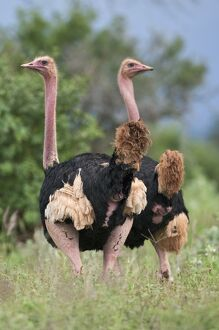 Two male Maasai ostriches in breeding plumage in Kenya's Tsavo West National Park