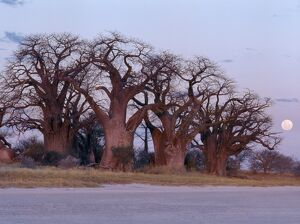 A full moon rises over a spectacular grove of ancient baobab trees