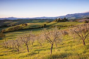 Olive grove and rolling hills at sunrise, Val d'Orcia, Tuscany, Italy