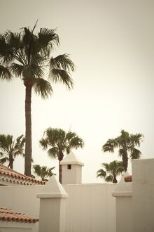 Palm Trees, Fuerteventura, Canary Islands, Spain