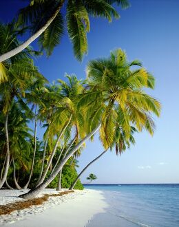 Palm Trees & Tropical Beach, Maldive Islands, Indian Ocean