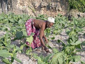 A Pate farmer tends his tobacco crop among the coral
