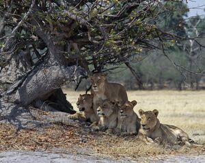 A pride of lions in the Moremi Wildlife Reserve