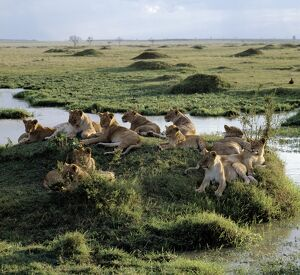 A pride of lions rests near water in the Masai Mara Game Reserve