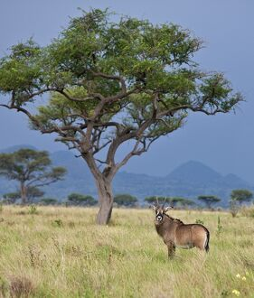 A Roan antelope in the Lambwe Valley of Ruma National Park, the only place in Kenya