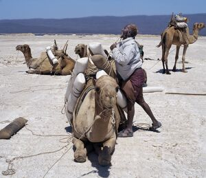 A Somali of the Issa clan loads his camels with salt at Lake Assal