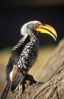 Southern Yellow Hornbill