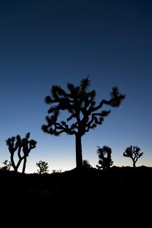 USA, California, Joshua Tree National Park, Joshua Trees (Yucca Brevifolia)