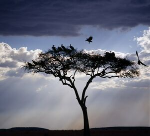 Vultures roost in an acacia tree shortly before dusk