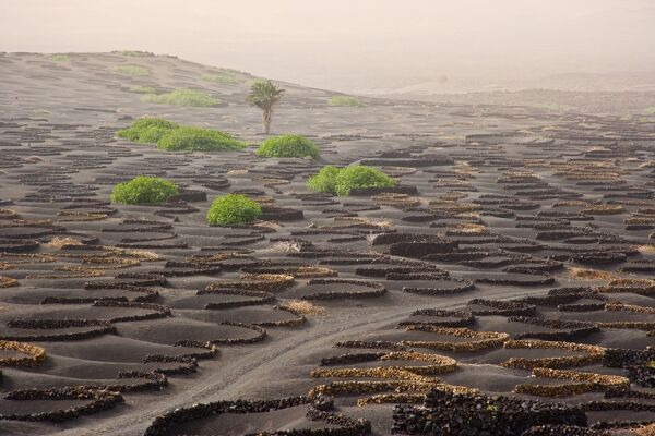 Lanzarote Island. Belongs to the Canary Islands and its formation is due to recent volcanic activities. Spain. In La Geria the wines are produced in full volcanic ash