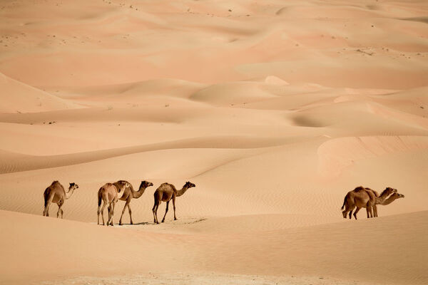 United Arab Emirates, Liwa Oasis, Camels and Sand dunes near the Empty Quarter Desert