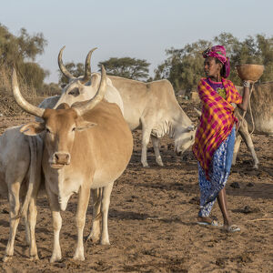 Africa, Senegal. A Fulani woman going out to milk the Zebus