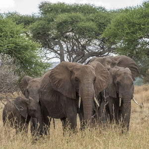 Africa, Tanzania, Tarangire National Park. A herd of elephants in the forest