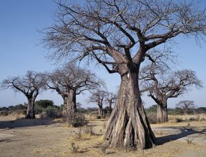 Baobab trees in the Ruaha Valley