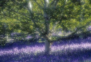 Bluebell and Silver Birch