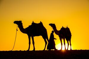 Camels in the desert near Giza, Cairo, Egypt